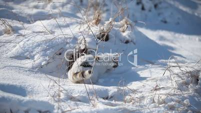 White cat enjoy the snow