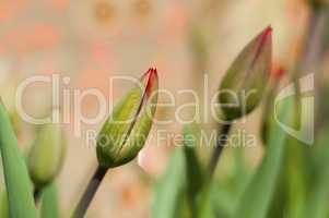 Bud of a non-opening tulip on a blurred background with a bokeh