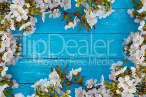 turquoise wooden background with flowering branches of cherry on