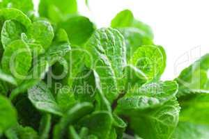 Fresh mint on white background closeup