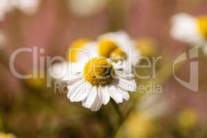 Chamomile flower herb called Matricaria recutita