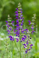 Meadow Sage in the springtime