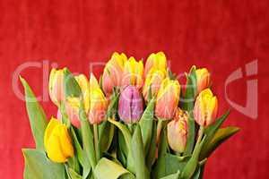 Strauss frischer bunter Tulpen