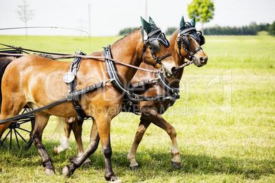 Clamped Kutschpferde