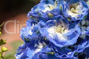 Blue larkspur flower called Delphinium