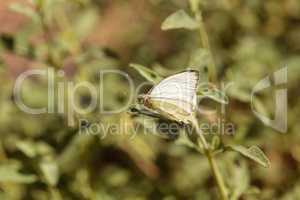 Great southern white butterfly, Ascia monuste