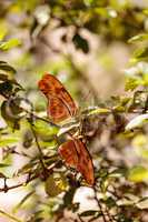 Julia Longwing butterfly, ?Dryas iulia