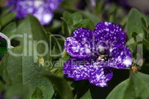 Purple night sky petunia flower