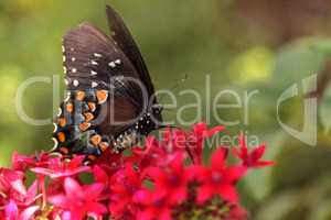 Spicebush swallowtail butterfly, Pterourus troilus