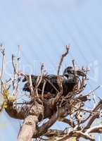 African open-billed stork, Anastomus lamelligerus