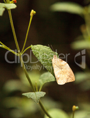 Great orange tip butterfly, Hebomoia glaucippe