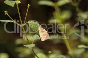 Great orange tip butterfly, Hebomoia glaucippe