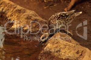 Marbled teal duck, Marmaronetta angustirostris