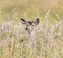 Black-tailed Deer (Odocoileus hemionus) peeking through Spring flowers.