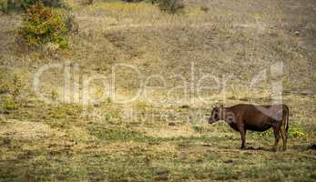 grazing brown cow