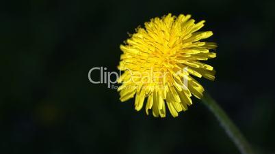 Taraxacum officinale, dandelion on a sunny day Close up