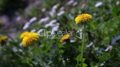 Taraxacum officinale, dandelions on a sunny day Close ups