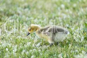Canada Gosling (Branta Canadensis) Eating Grass