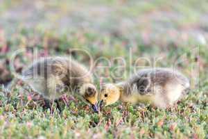 Canada Goslings (Branta Canadensis) Eating Grass