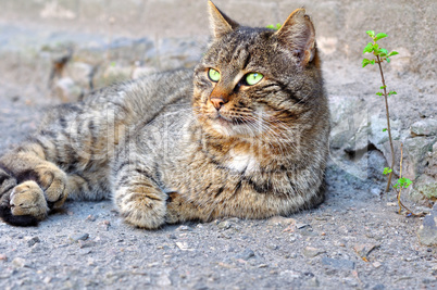 Gray street cat with green eyes lying on the asphalt