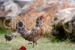 Henne auf Kauai