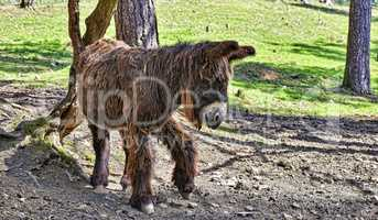 Donkey from Poitou standing near a tree