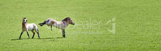 Przewalski Horse in a green grass field