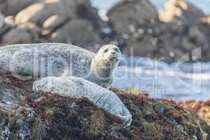 Spotted Adult Male Harbor Seal (Phoca vitulina) Watching over his sleeping baby.