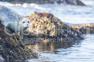 Spotted Adult Male Harbor Seal (Phoca vitulina) hanging on a rock.