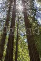 Sunlight Through Redwoods.
