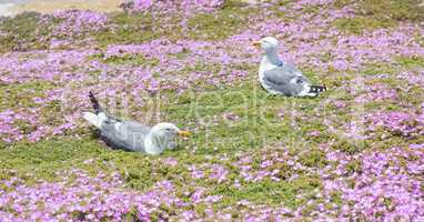 Western Gulls (Larus californicus) Perching on Ice Plant.