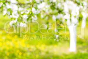 Beautiful defocused landscape with tree and lawn with flowers, blossoming orchard or garden