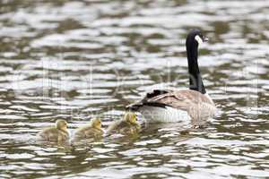 Canada Goose with Goslings (Branta Canadensis) Wading in formation.