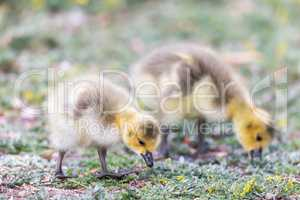 Canada Goslings (Branta Canadensis) Eating Grass