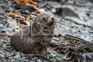 Antarctic fur seal on shingle and seaweed