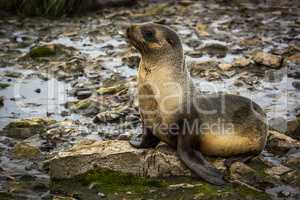 Antarctic fur seal lying on moss-covered rocks