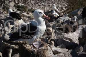 Black-browed albatross standing on nest in colony