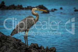 Great blue heron looking out to sea