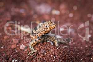 Lava lizard on pile of red sand