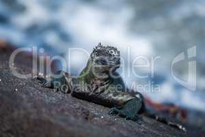 Marine iguana and several Sally Lightfoot crabs