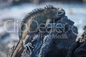 Marine iguana sleeping on black volcanic rock