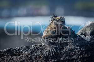 Marine iguana sunbathing on black volcanic rock