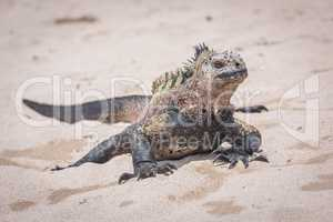 Marine iguana sunbathing on white sand beach