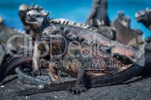 Several marine iguanas sunbathing on black rock