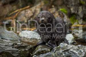 Wet Antarctic fur seal pup in snow