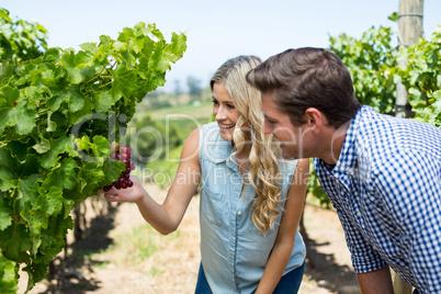 Smiling couple looking at grapes growing at vineyard