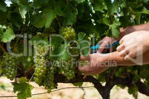 Hands of couple using pruning shears at vineyard