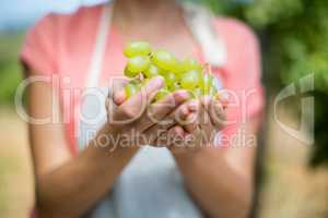 Mid section of farmer holding grapes