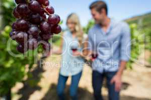 Grapes hanging on plant with couple in background