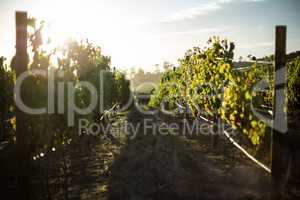 Scenic view of vineyard